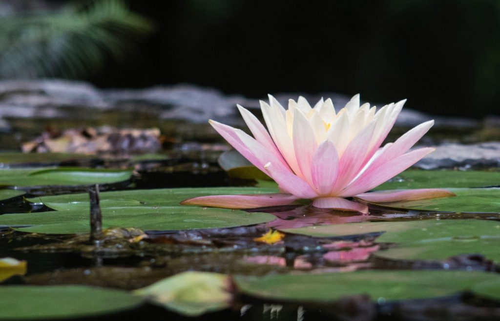 Conscious Resilience of the lotus blossom